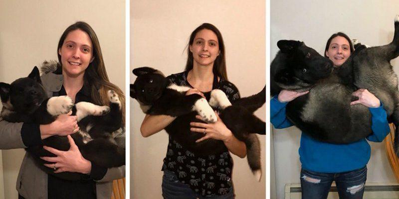 За шесть месяцев щенок акиты вымахал до размеров медведя