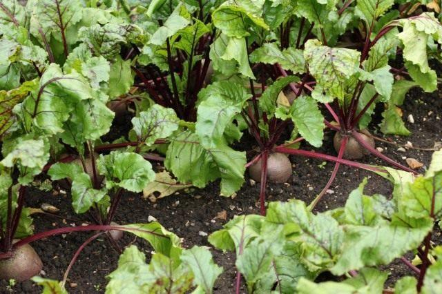 Агротехника выращивания свёклы