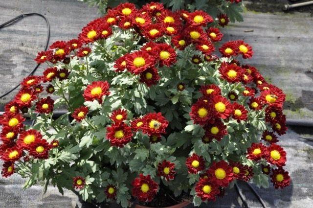 Красочные подушки комнатных хризантем