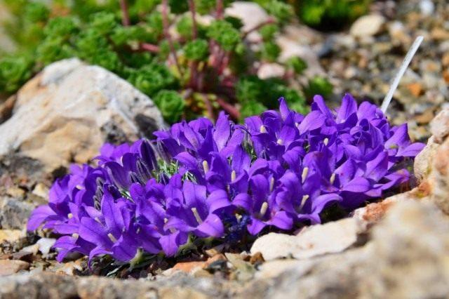 Эдрайантус — альтернатива колокольчикам на альпийских горках