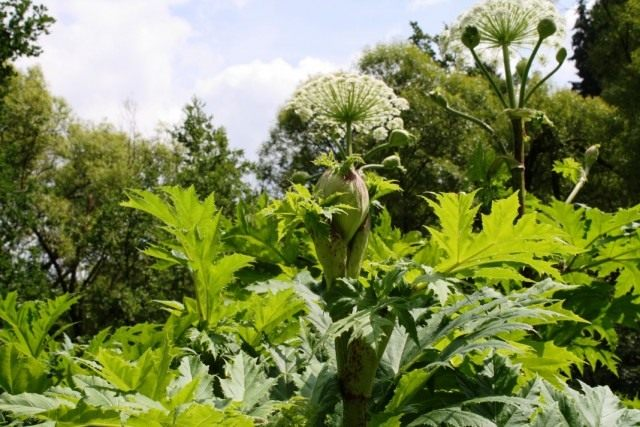 10 прекрасных садовых агрессоров и методы их сдерживания