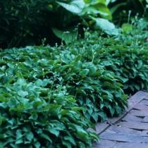 Хосты — разнообразие видов и использование в саду