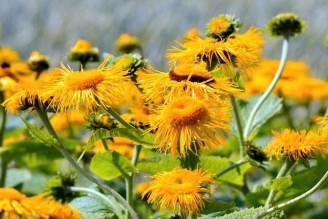 Девясил, или Жёлтый цвет — описание и лечебные свойства