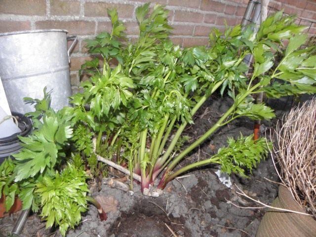 Любисток — выращивание и лечебные свойства