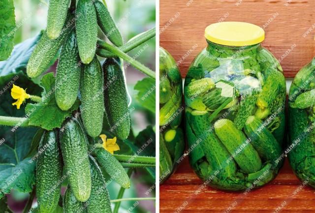 Выбираем урожайные огурцы без болезней и пустоцветов
