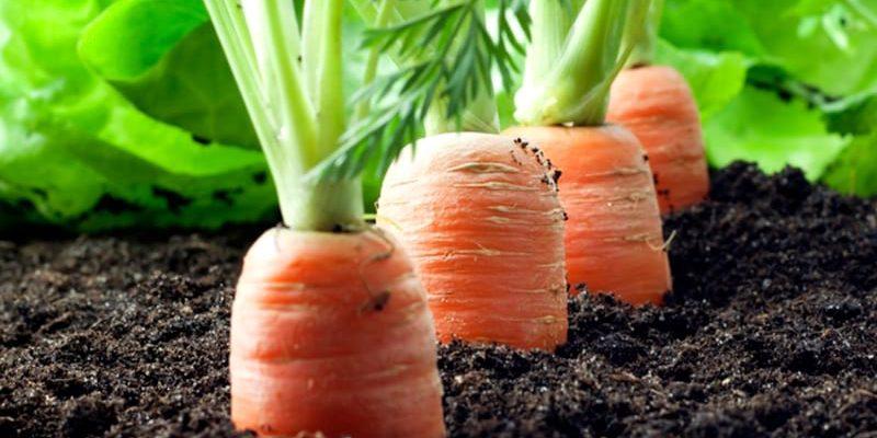 Хитрый способ посадки моркови