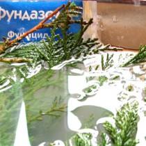 Размножение хвойных растений черенками зимой — это просто