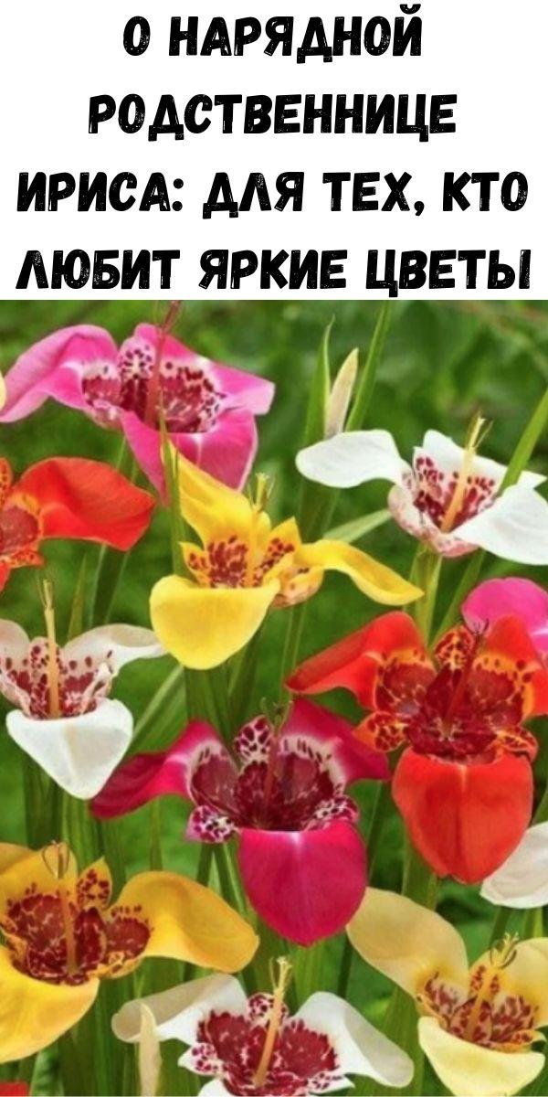 О нарядной родственнице ириса: для тех, кто любит яркие цветы